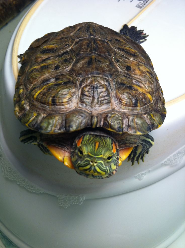 Red ear slider turtle Fred Galapagos tortoise, Slider