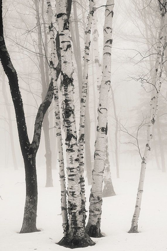 birches in winter fog 8x10 fine art black by KSinclairPhotography