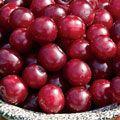 Carmine Jewel Dwarf Cherry New fruit tree