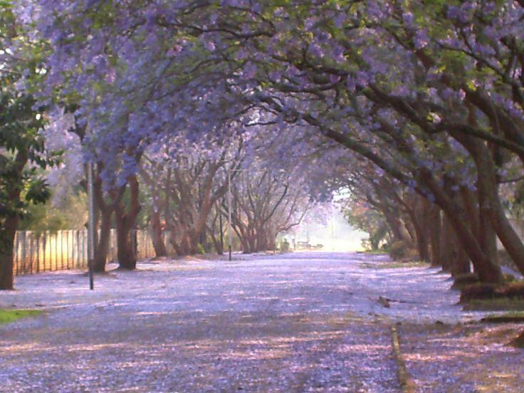 Jacaranda trees in Australia