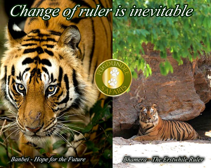 Outclassing Bhamera.A New Ruler of #BandhavgarhNationalPark and Hope for the future banbei.