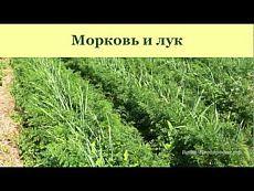 ▶ Выращивание моркови, лука, чеснока, сельдерея - YouTube