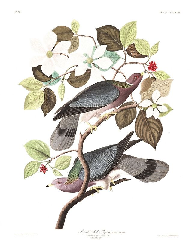 """Band-tailed Pigeon - John James Audubon"" Art Prints by billythekidtees | Redbubble"