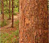 Желтый Балау является лиственных пород, который часто используется в производстве садовой мебели. Привлекательность Желтый балау является его высокая плотность и прочность. Это также мелко зернистой, тяжелый и прочный. Древесина имеет срок службы около 20 - 30 лет. По сравнению с другими видами, желтый Балау имеет только немного тенденцию деформации или скручивания и поэтому адаптируется к изменению погодных условий.