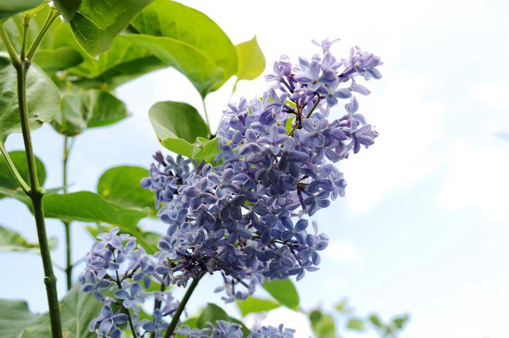 Flieder, Edelflieder President Lincoln: Syringa vulgaris President Lincoln: Hellblau-violette amerikanische Fliedersorte