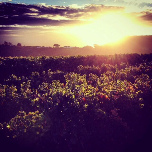 Sunrise over our vineyards in Darling