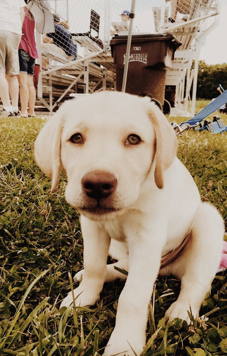 Super Cute Little Adorable Pet Animal Baby Vsco Yellow Lab Puppy