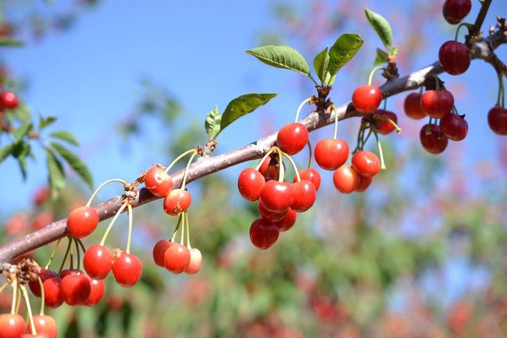 cherry picking for kids by Jolly Tomato