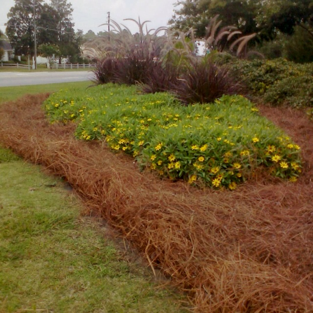 Pine Straw Mulch Is 100 Natural And Organic Protects