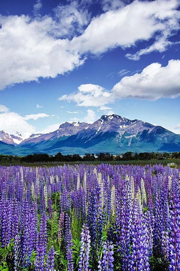 Purple Lupines Flowers Vally View of Cerro Torre Mountain, Patagonia Argentina