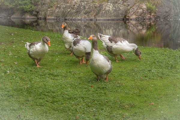 Öland goose is a breed of domestic geese originating in Öland island in Sweden. The breed was nearly extinct at the 1970s. Today there are 111 registered animals in Sweden.