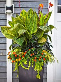 Cannas give container gardens vertical interest with their bright flowers & dramatic large leaves. This tropical garden classic will create eye catching drama. Grow in full sun & moist soil.