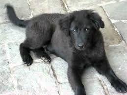Son los perros de mas linda raza me encantan los golden retriever