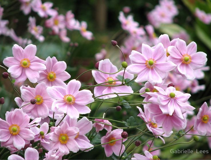 April is when the windflowers flower and they fill the garden in front of my blue cottage.  Yes pink, white and blue again.