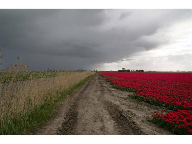 Goedemorgen West-Friesland   Wolken en rode tulpen in bloei