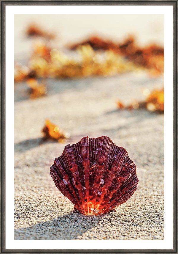 Framed Print featuring the photograph The Most Beautiful by Evgeniya Lystsova. Sea shell on the sandy beach at sunrise in summertime, tropical landscape, Mexico. Stylish Art Work for your Home Decor and Interior Design. And it's wonderful Gift for any occasions. Bring your print to life with hundreds of different frame and mat combinations. #EvgeniyaLystsovaFineArtPhotography #Coastal #Shell #Prints #HomeDecor