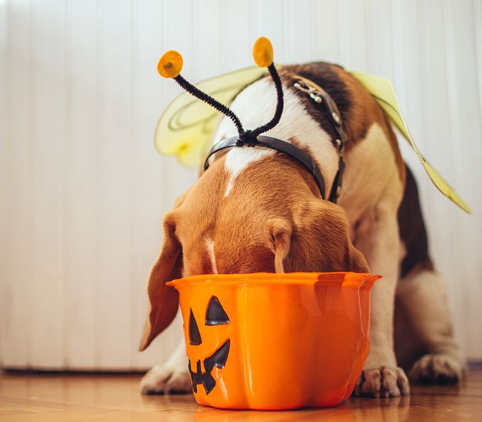 Forget about witches and zombies; a seemingly innocuous bag of candy can be one of the scariest things that enters a dog owner's home on Halloween. Calls to the Pet Poison Hotline increase twelve percent during the week of Halloween, making it the center's busiest time of the year. Learn what to do in case your pup sneaks into the trick-or-treat bag.