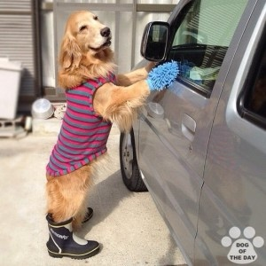 Funny dog cleaning the car for his boss!