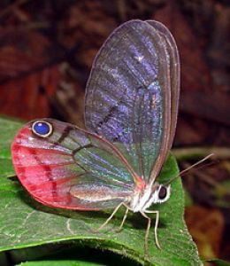 Amazon rainforests are the home for more than 25 millions of different species of insects. Warm climate with heavy rainfalls result into abundant vegetation in most part of the region make favorable conditions for the growth and reproduction of millions of species of insects.