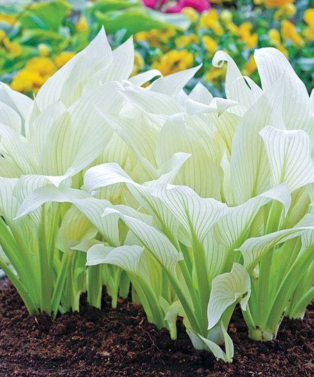 Breck's Filigree Hosta Plant | zulily Crisp and clean, this green and white perennial plant thrives in shady areas, making it perfect for brightening up dark spots in the landscape. With unique funnel-shaped blooms, these plants look lovely in a flowerbed or displayed in a floral arrangement.  Includes one bare-root plant Grows to approx. 24'' W x 22'' H Water thoroughly Shade Does not tolerate sun Hardiness zones: 3-9 Imported