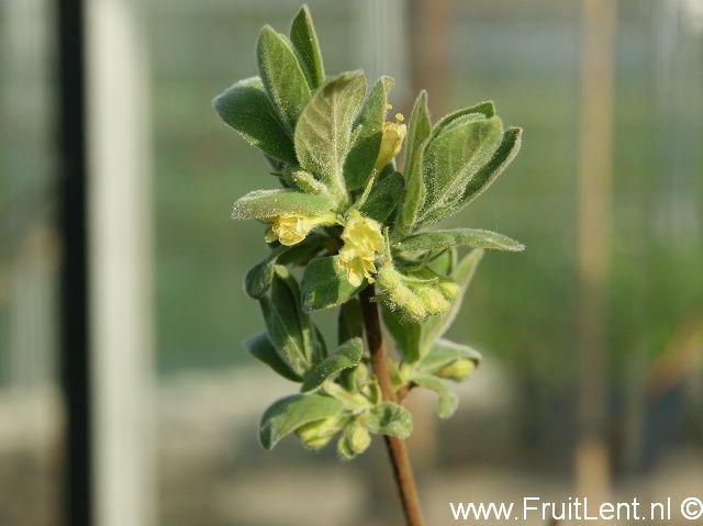 bloemen van de honingbes 'Kiev No. 8'