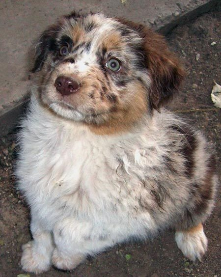Dog- Blue heeler and Australian Shepherd mix