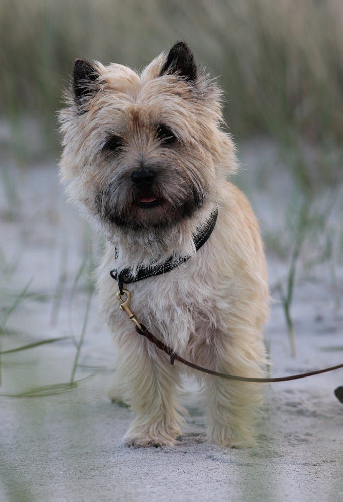Cairn Terrier on beach2 by Rasmus Damgaard Nielsen on 500px