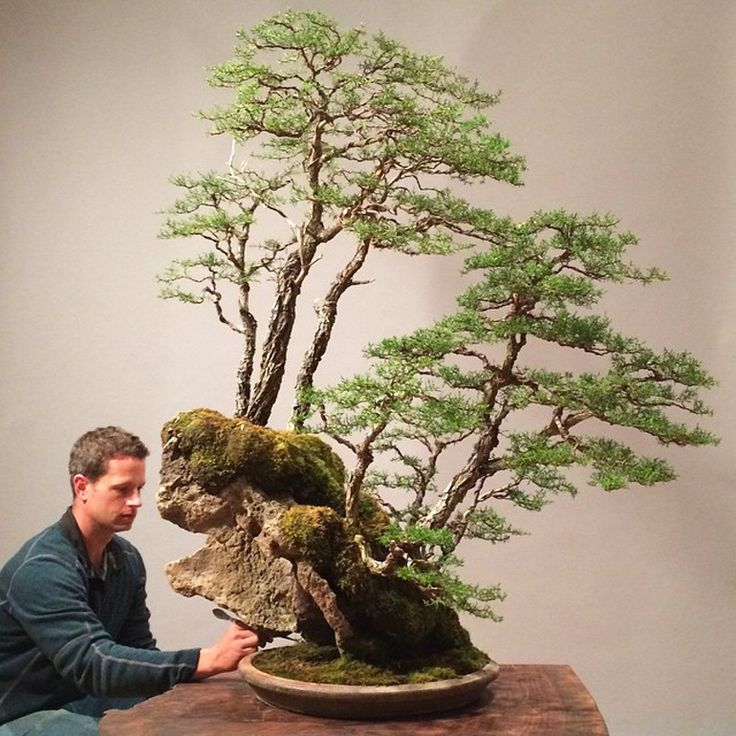 Ryan Neil working on a unique saikei. A wild guess says the trees are Junipers