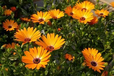 Annual Flowers Image Gallery
