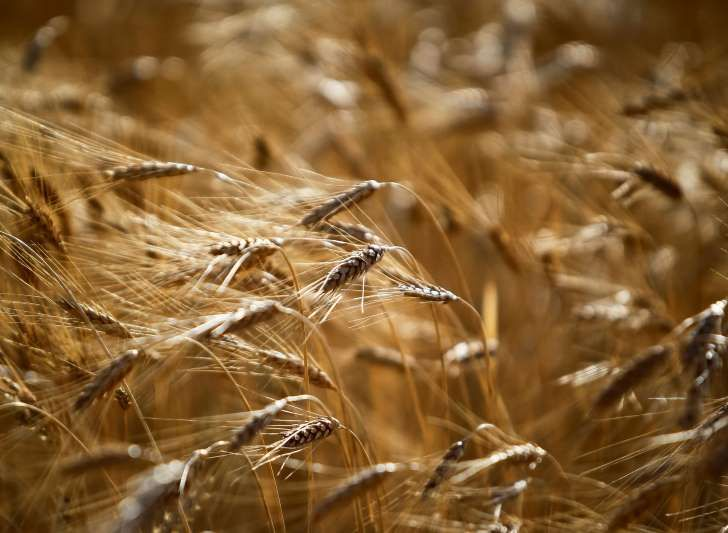 UK scientists developing GM 'wonder wheat' made with gold dust to feed the world's poor