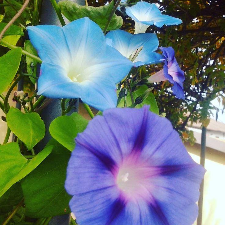 Ipomea, Blue, Purple #flowers #autumn