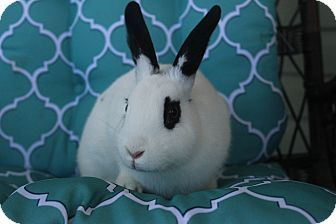 Hillside, NJ - English Spot Mix. Meet Dottie, a pet for adoption. http://www.adoptapet.com/pet/16047843-hillside-new-jersey-rabbit