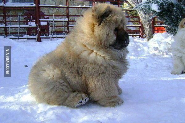Just Caucasian Shepherd dog.. | Caucasian Shepherd Puppy ...