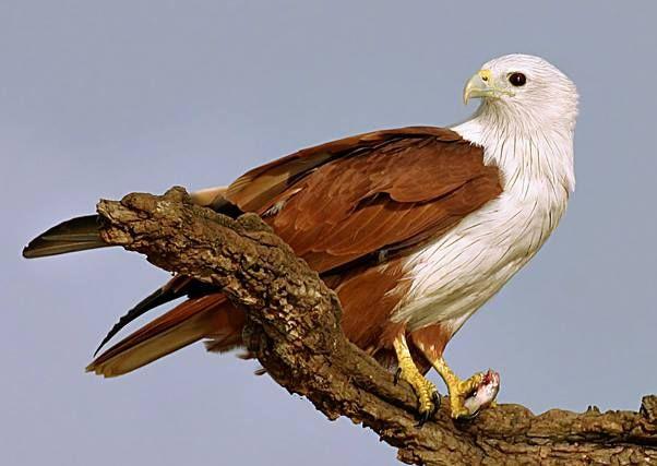 giant eagle flower