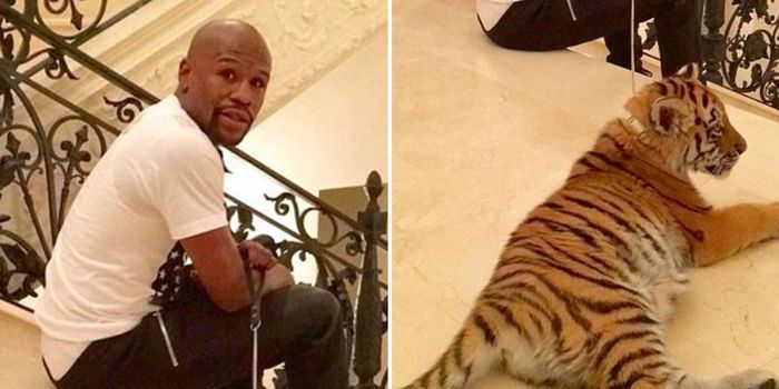Tigers are not pets, keeping them on a leash and trying to control them is wrong! (56214 signatures on petition)
