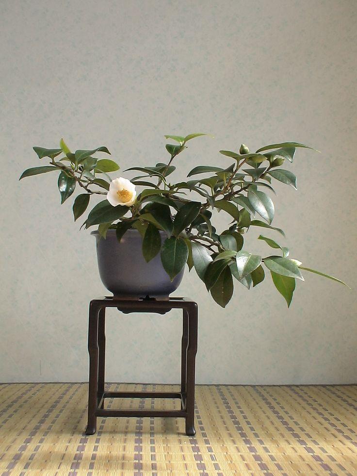 2007.仲秋錦風25 椿 ツバキ : 《 盆草遊楽 》