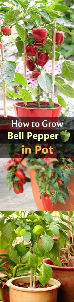 Growing bell peppers in pots is a great idea if you're short of space or live in a cold temperate climate as it requires warm soil to thrive.: