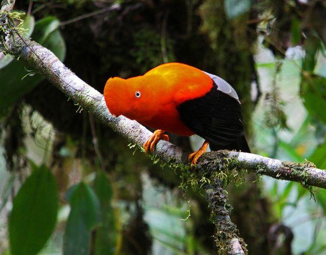 O galo da serra é equipado com uma plumagem laranja especial e pequenos olhos redondos. Apenas os machos têm a plumagem brilhante e a crista distintiva na cabeça.