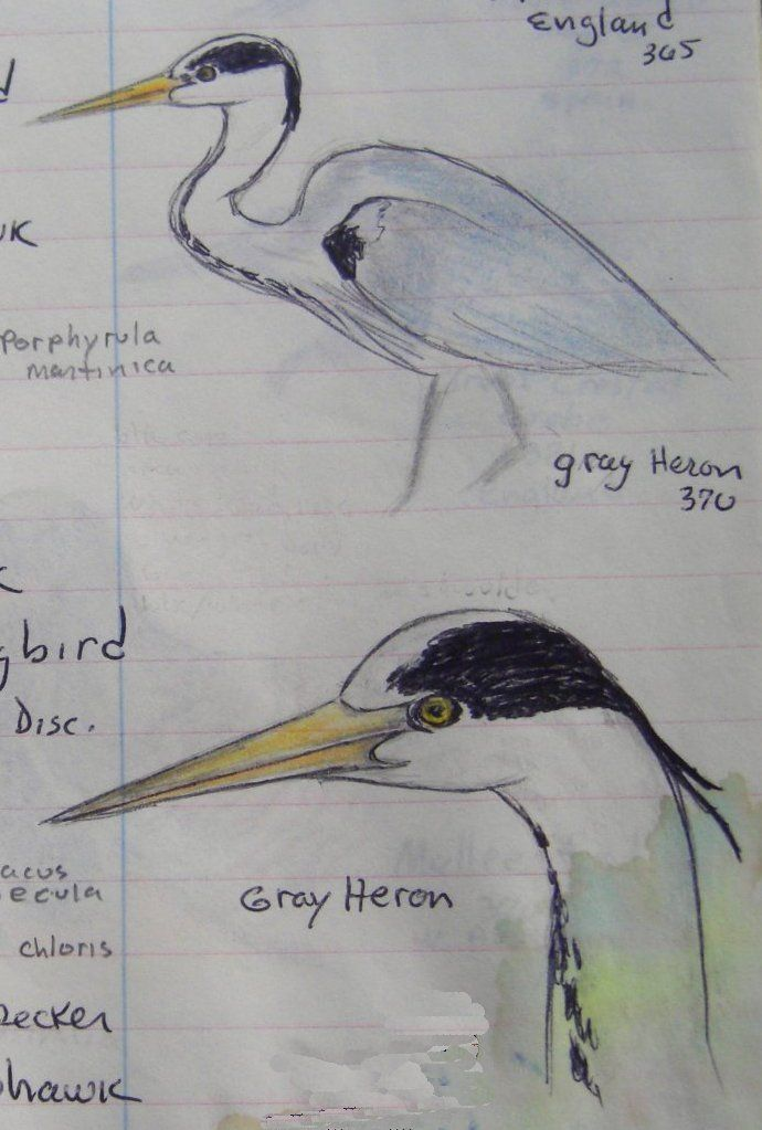 Gray Heron, England - color pencil & ballpoint from bird notebook, 1993