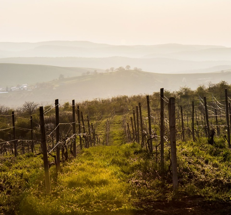 Good morning from the #vineyard! #wine