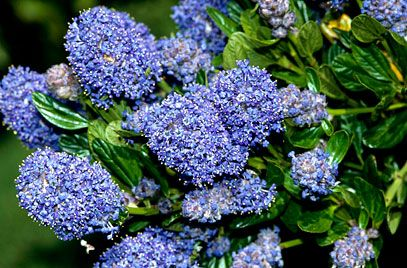 'Skylark' is a compact evergreen shrub with finely toothed, glossy dark green leaves and clusters of deep blue flowers in early summer