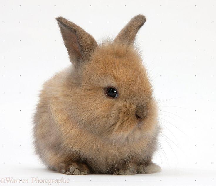 brown dwarf baby rabbits - photo #48