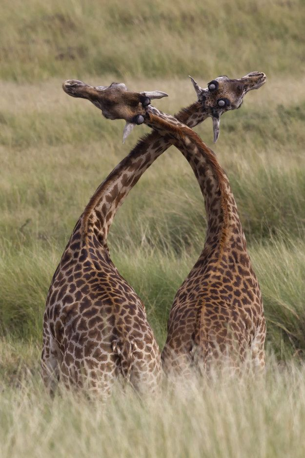 Male giraffes fight by rubbing and twisting their necks together. Sometimes this test of strength arouses the giraffes so much that they stop fighting and move onto… other things.