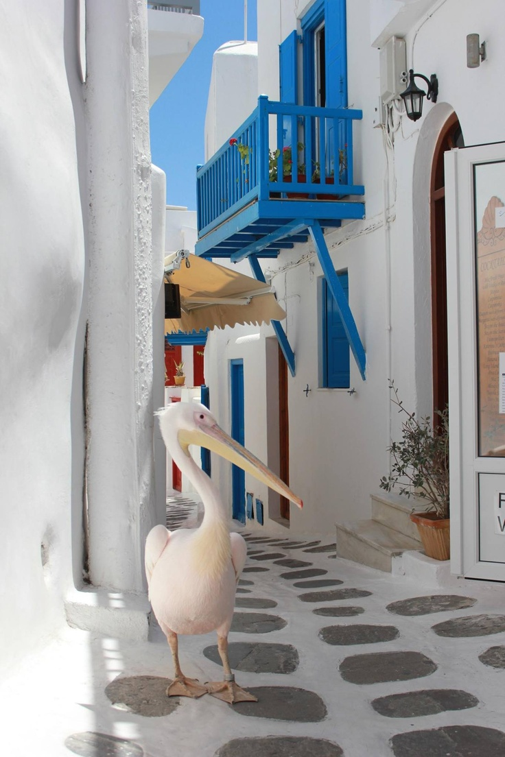 The welcoming pelican in Mykonos, Greece. Ailleurs communication…