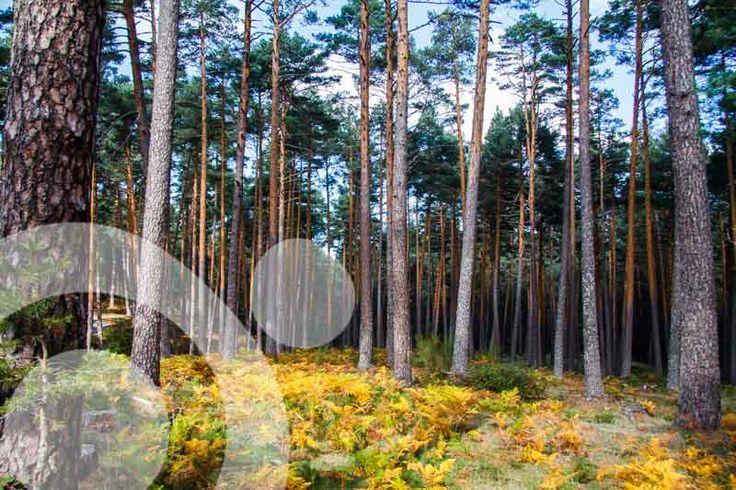 Scots pine forest with a carpet of yellow ferns in the Guadarrama range. More info: http://www.qnatur.com/parque-natural/sierra-de-guadarrama