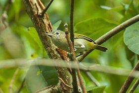 Golden-fronted Greenlet - Panama MG 2230 (23040966756).jpgEl verdillo luisucho3 (Pachysylvia aurantiifrons), también denominado verderón luisucho (en Colombia y Venezuela), dieciocho o melchora (en Colombia) o vireillo de frente dorada,2 es una especie de ave paseriforme, perteneciente al género Pachysylvia (antes colocado en Hylophilus) de la familia Vireonidae. Es nativo del norte de América del Sur y sureste de América Central.