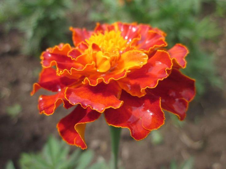 French Marigold - Hawthorn Farm Organic Seeds