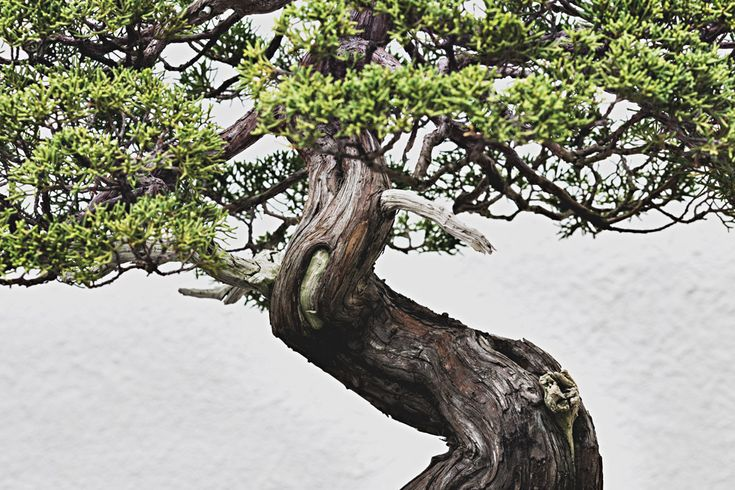 Sargent Juniper, training date unknown. Stephen Voss photographs bonsai trees at the National Bonsai & Penjing Museum in Washington DC.