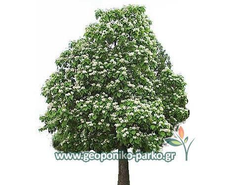 Δέντρα Κήπου : Κατάλπη δέντρο - Γλ. 10 λτ - Catalpa bignonioides