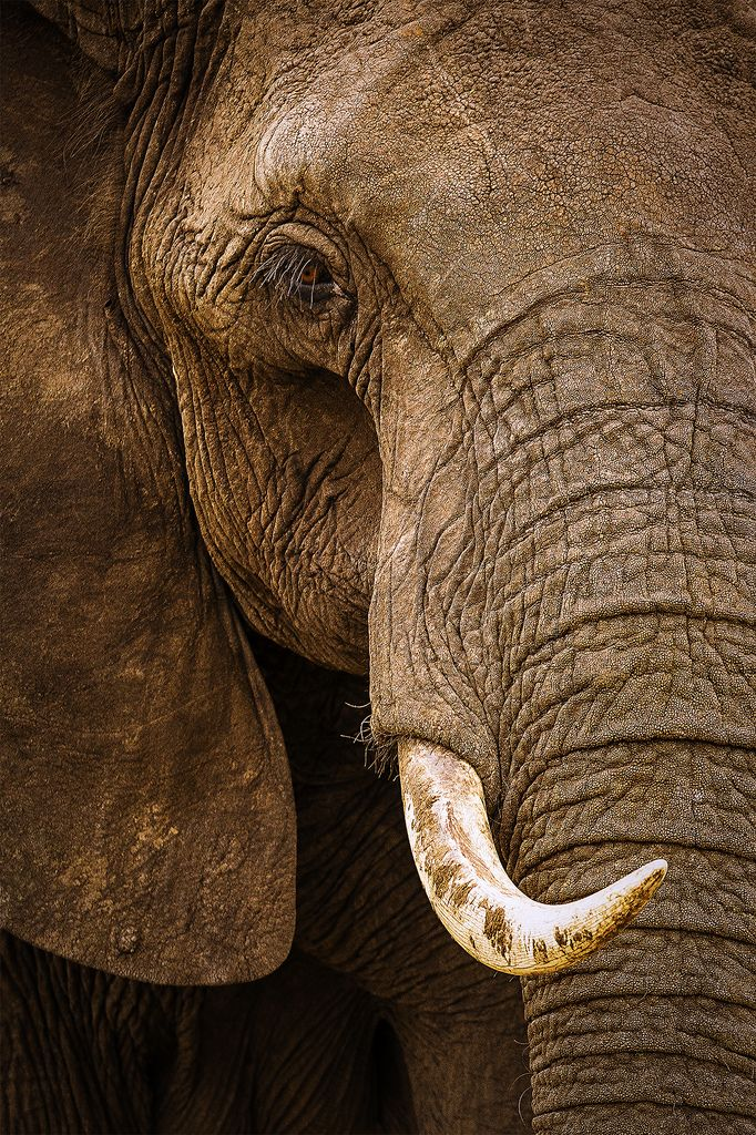 The Eye of an African Bull Elephant  Maybe not beautiful but he reminds me of Modoc